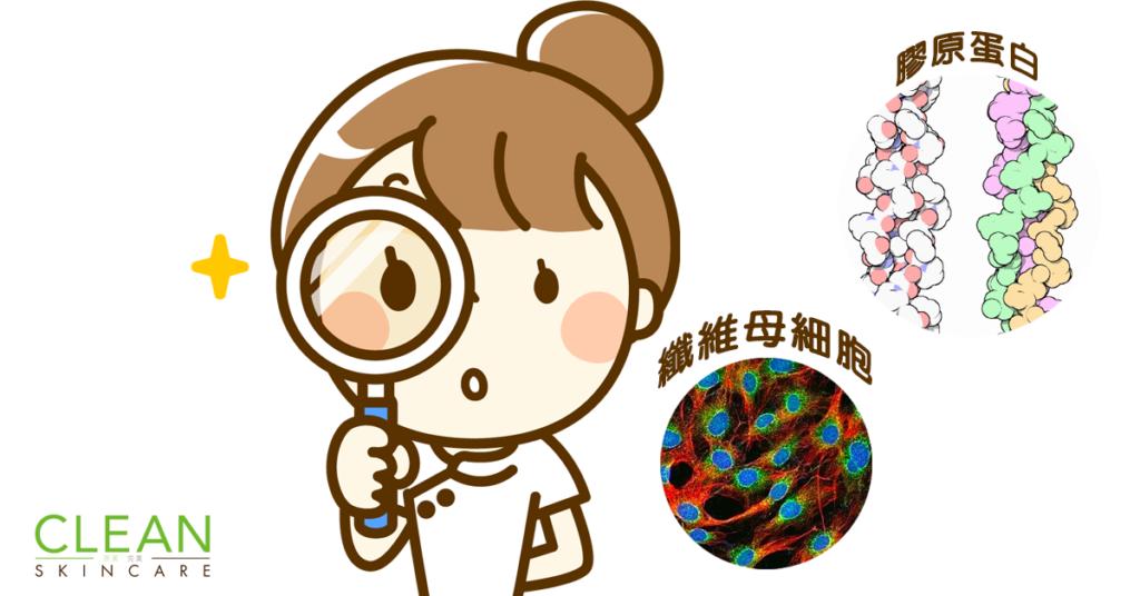 CLEAN Blog - 纖維母細胞和膠原蛋白既關係